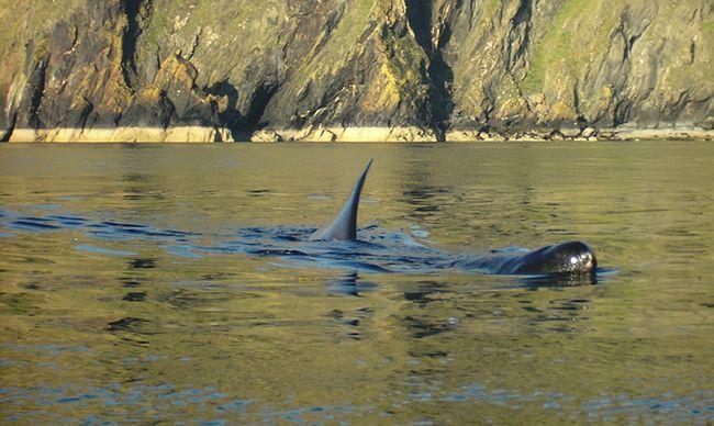 Baskin Shark Google Image Result for http://www.kayak.im/photos/DSCI0006.JPG