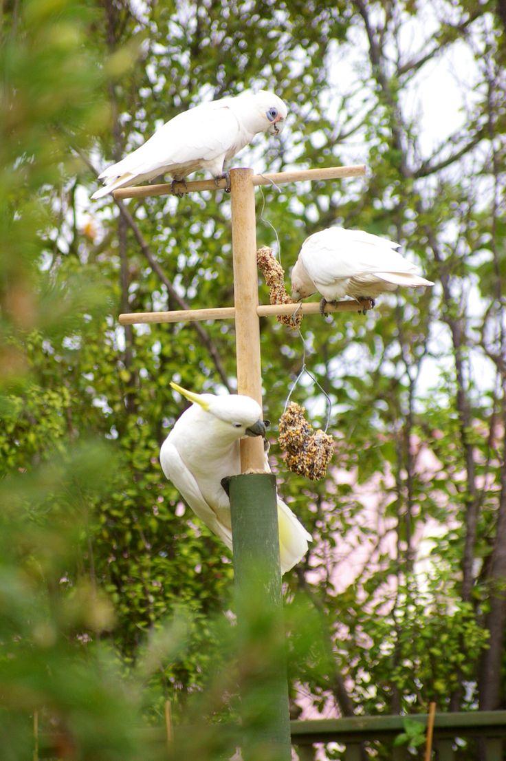 Visitors to my garden 4. Cockatoos and Corellas on the bird feeder