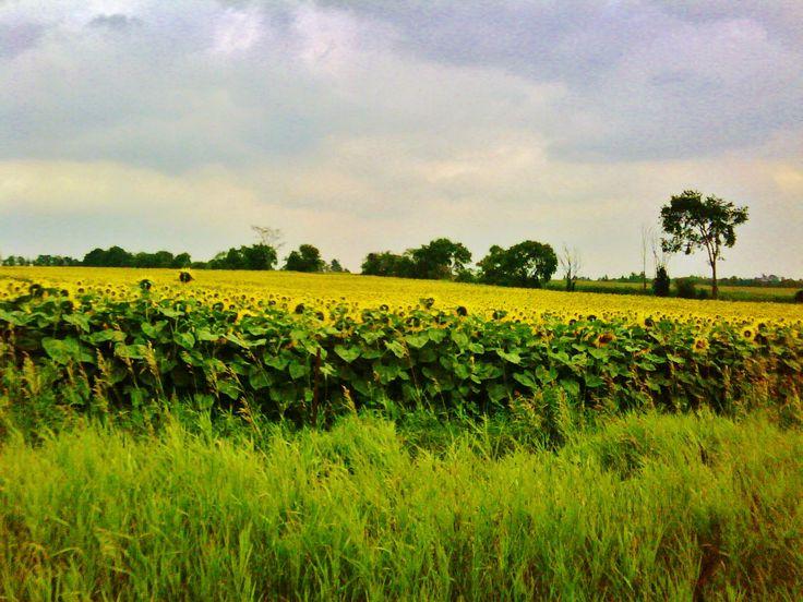 Early sunflowers. Thornton, ON