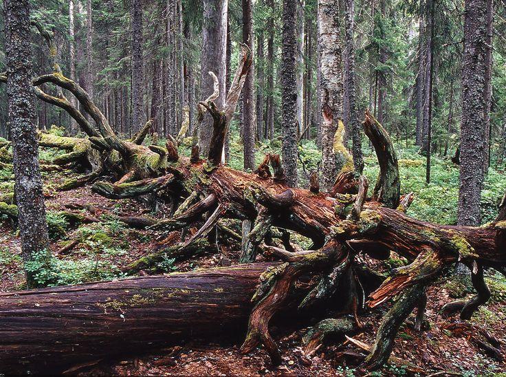 Pyhä-Häkki National Park. Photo: Jari Kostet