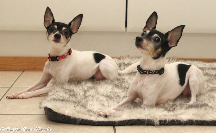 Toy Fox Terriers are small dogs using a muscular and athletic look.