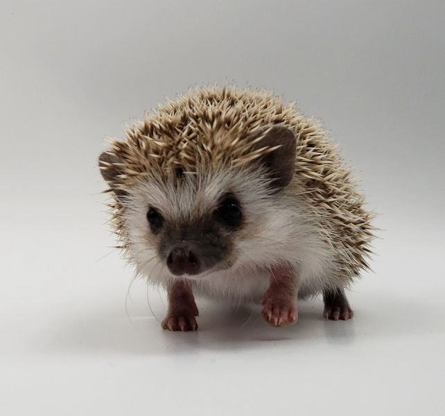 Morning Star Hedgehogs Hedgehogs For Sale Baby Hedgehogs Hedgehog Morning Star Hedgehogs In 2020 Hedgehog For Sale Pygmy Hedgehog Baby Hedgehog