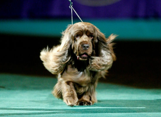 Stump, Sussex Spaniel, Westminster Dog Show 2009