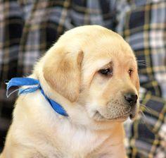Yellow Labrador Retriever puppies for sale NY