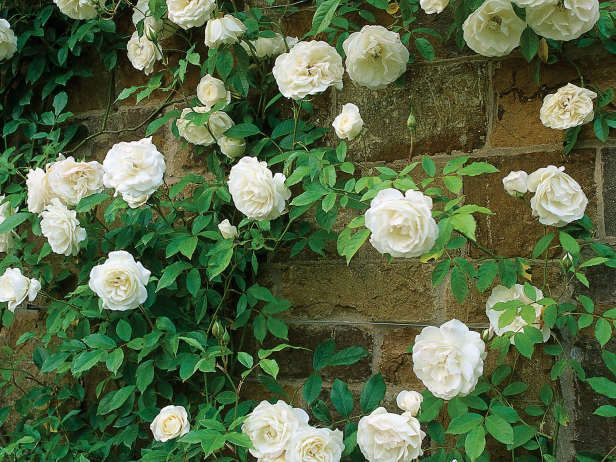 10 best images about landscaping our yard on pinterest orange flowers jasmine and campsis - Climbing plants that produce fragrant flowers ...