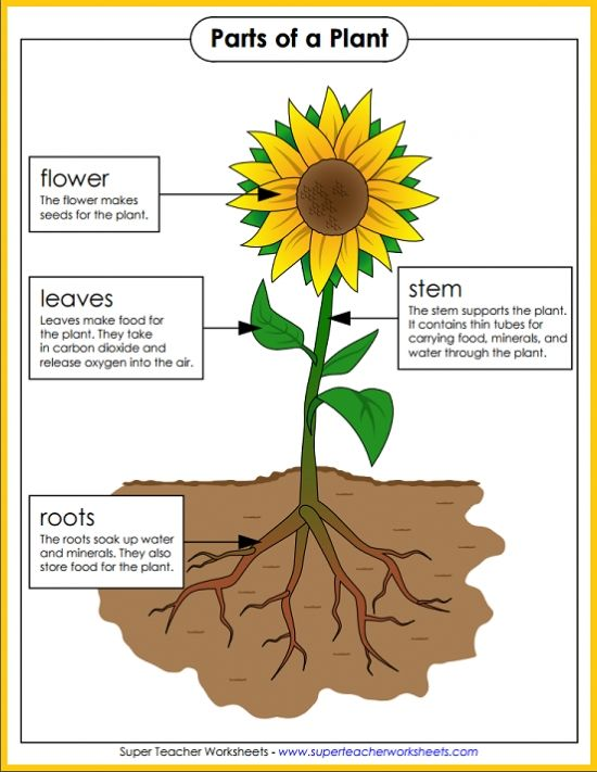 Check out all the great resources Super Teacher Worksheets has for teaching the parts of a plant. Hang this colorful poster in your classroom and let the learning begin!