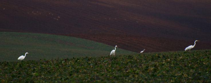 V krajine bielych volaviek