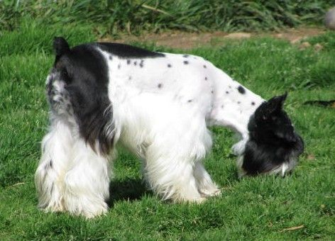Different Colors Of Miniature Schnauzers Smith