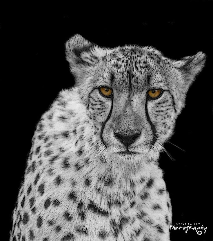 Cheetah art  by SteveBailey