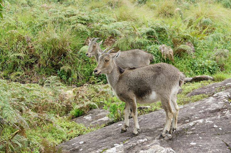 Nilgiri Tahr Sanctuaries in Tamil Nadu, India @ Sanctuariesindia.com