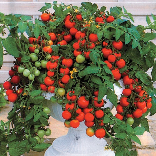 1000 Images About Cherry Tomatoes On Pinterest Heirloom 400 x 300