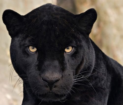 Black Panthers Panthers And Black On Pinterest: 17 Best Images About Totem- Black Leopard On Pinterest