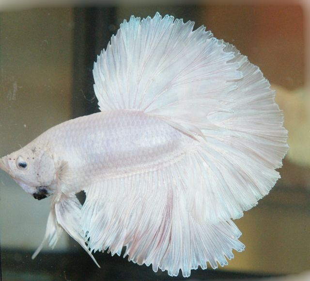 "Betta Splendens ""Opaque White"" Halfmoon 