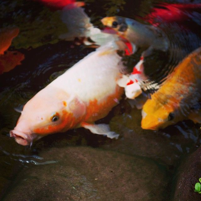 89 best in the koi pond images on pinterest koi carp for Expensive coy fish