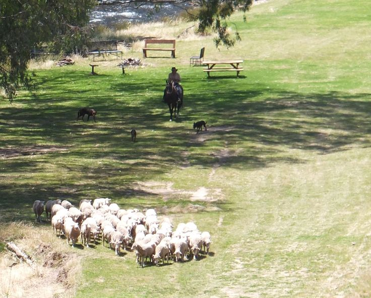 Robert taking the sheep to the shearing shed