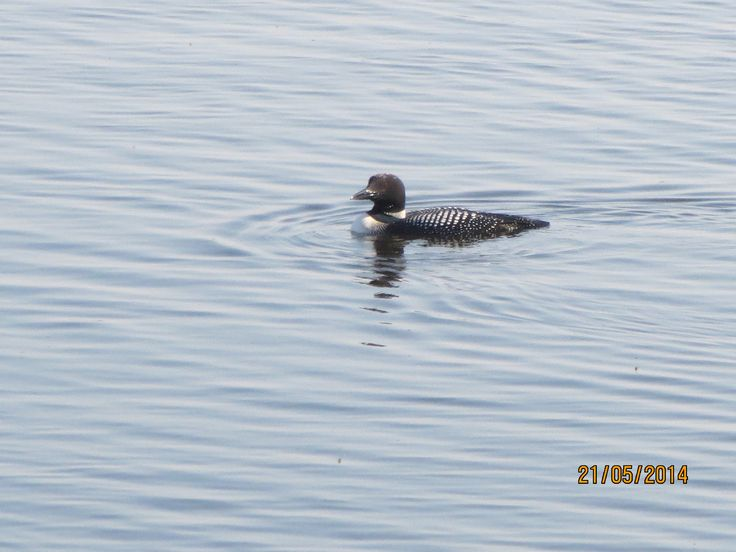 Love the Loons.