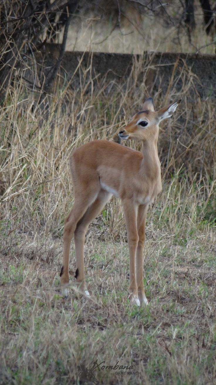 TOUCH this image: 1st Impala Lamb for the 2014/2015 season by Xombana