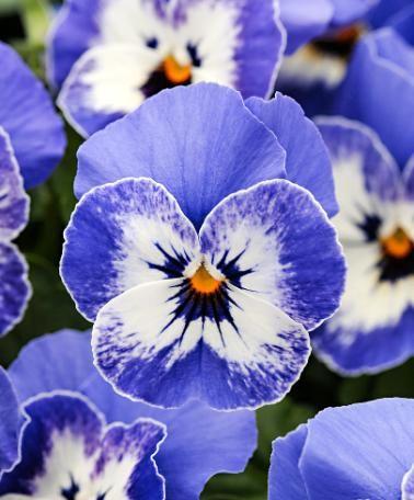 Les 25 meilleures id es concernant tatouage d 39 orchid e - Tatouage pensee fleur ...
