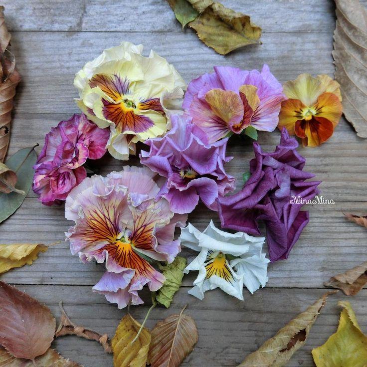 おはようございます✨ 昨日出先で背中がぞくっと💦 私はいつも風が強い日に風邪をひく💨 帰宅して熱いラテ飲んで早めに寝たらなんとか大丈夫そう👌 よかった(´▽`) ホッ 今風邪ひいてる場合ではないのだ💨 せわしい12月、皆さんも体調崩されないように👋😊 #mygarden#garden#gardening#ガーデン#ガーデニング#マイガーデン#庭#イングリッシュガーデンにしたい#イングリッシュガーデン#花のある暮らし #flower#instagarden#instaflower#花#庭の花#ビオラ#viola#パンジー#pansy