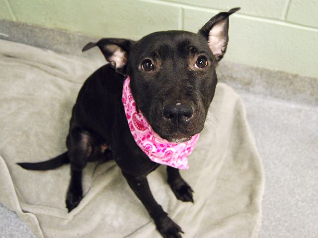 SUPER URGENT - GUINEVERE - A1096788 - - Manhattan  Please Share:TO BE DESTROYED 12/02/16 A volunteer writes: Black is beautiful! Tiny Guinevere is no coal nugget, but a gentle and affectionate diamond in disguise. Her favorite place to be is doling out flurries of kisses from a cozy lap. She arrived with a few minor boo-boos, but they've already healed nicely and besides, who could look anywhere but deep into those pleading eyes? Guinevere wears her loving heart for all to see and i