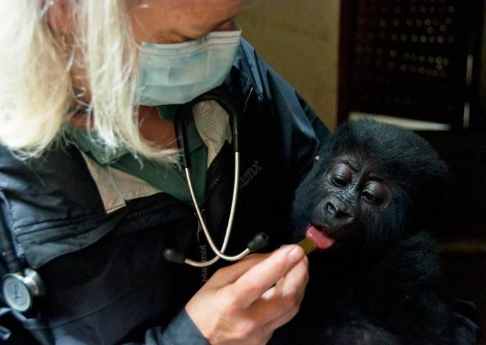 Pictures: Baby Gorilla Rescued in Armed Sting Operation