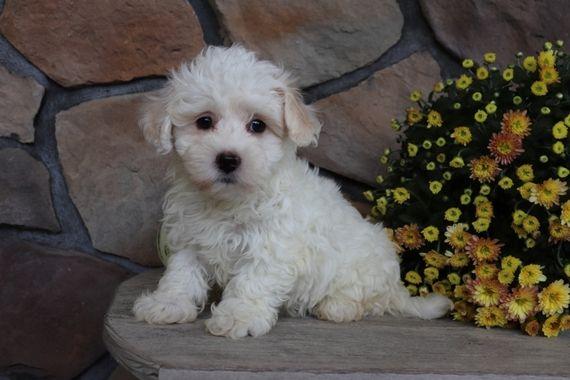 Dylan Havanese Puppy 570002 Puppyspot Havanese Puppies