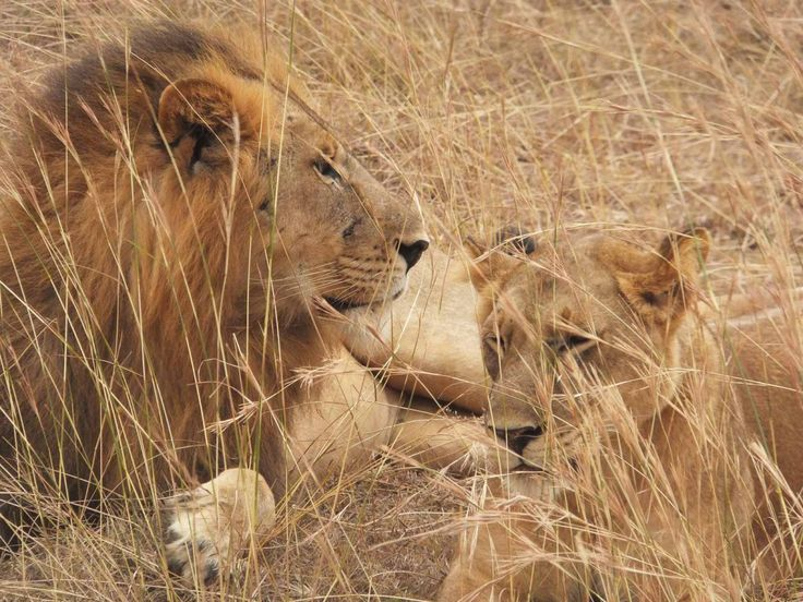 Searching for lions in Uganda
