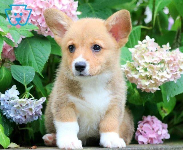 Pembroke Welsh Corgi Puppies For Sale Puppy Adoption Keystone Puppies Pembroke Welsh Corgi Puppies Corgi Puppies For Sale Welsh Corgi Puppies