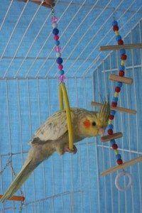 Os brinquedos para calopsitas deixarão seu pássaro menos estressado e muito mais feliz (Foto: Divulgação)