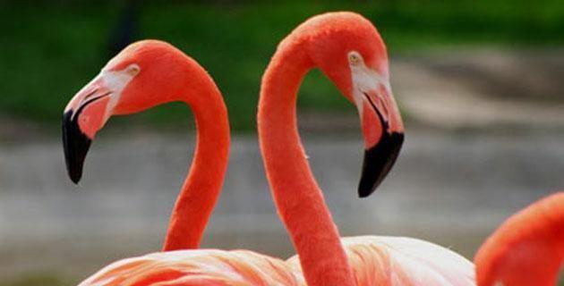 """Los flamencos rosados de Ría Celestún, Yucatán. La Reserva de la Biósfera Ría Celestún tiene como """"especie bandera"""" al flamenco, hermosa ave que, volando en grupos de cientos, pinta de rosa los cielos yucatecos. ¡Ayúdanos a protegerla!"""