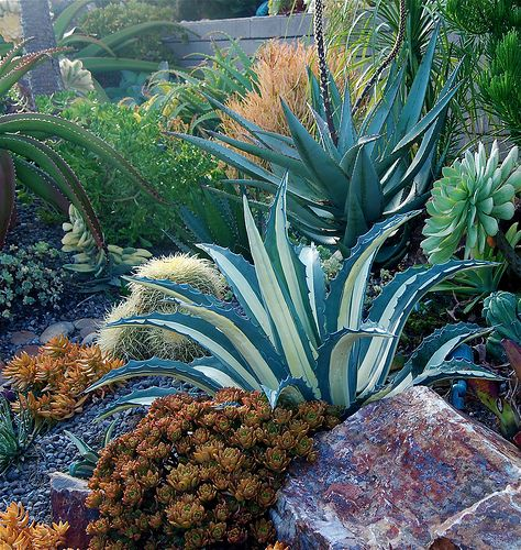 Succulent landscape designed, installed and photographed by Michael Buckner - I love the stripes in the foreground