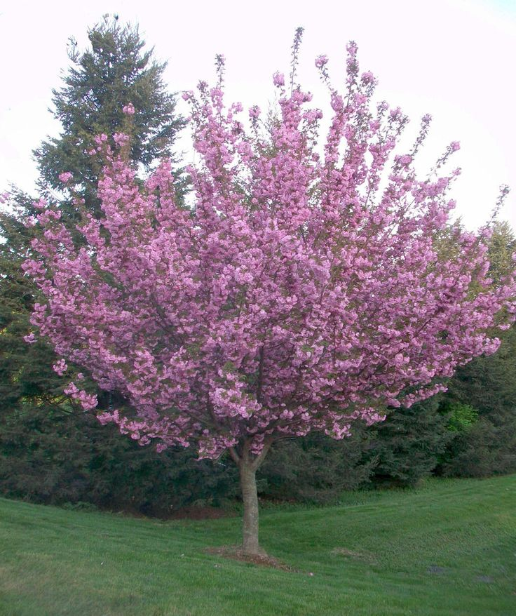 The Kwanzan Cherry Tree is a poplar flowering ornamental tree with bright pink blooms and upright form. Buy online at Garden Goods Direct.