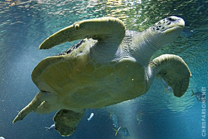 Green Sea Turtle- we have 2 at the Aquarium! (Tennessee Aquarium)