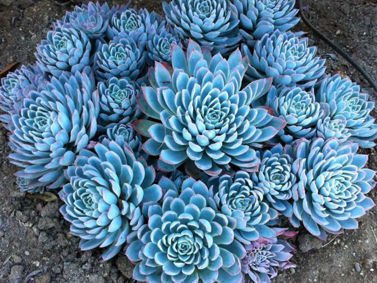 Echeveria 'Violet Queen' (Violet Queen Hens and Chicks) is a fast growing and hardy rosette-forming, gray-leafed succulent which freely…
