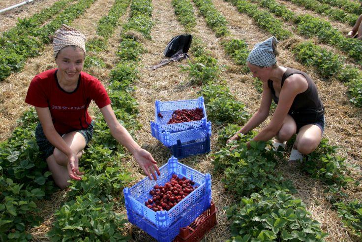 Erdbeer-Ernte im Schwarzwald