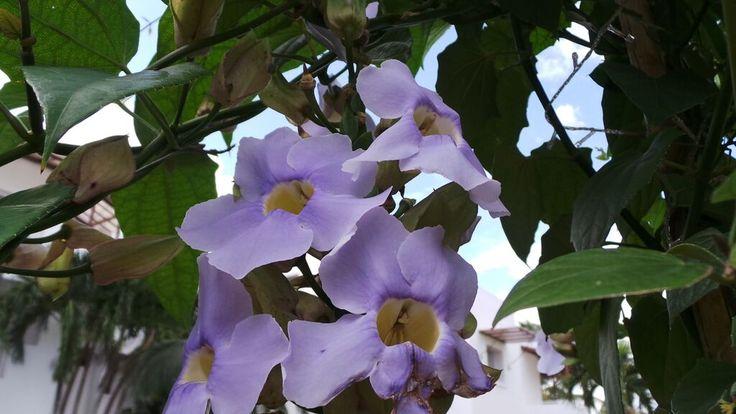 Fiore caraibivo