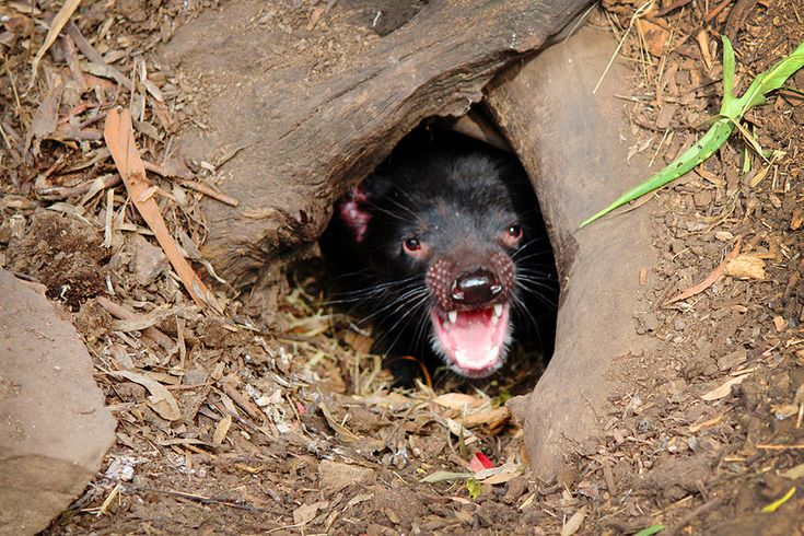 """Bonorong Park - Tassie (tasmanian) Devil, unfortunately they get a facial cancer, now""""powers that be"""" are trying to breed it out and get the Devil population going again."""