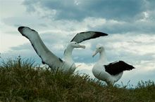 Otago Peninsula is also home to the breeding colony of the Northern Royal Albatross.  These birds have a 3 metre wingspan and fly over 100km an hour.