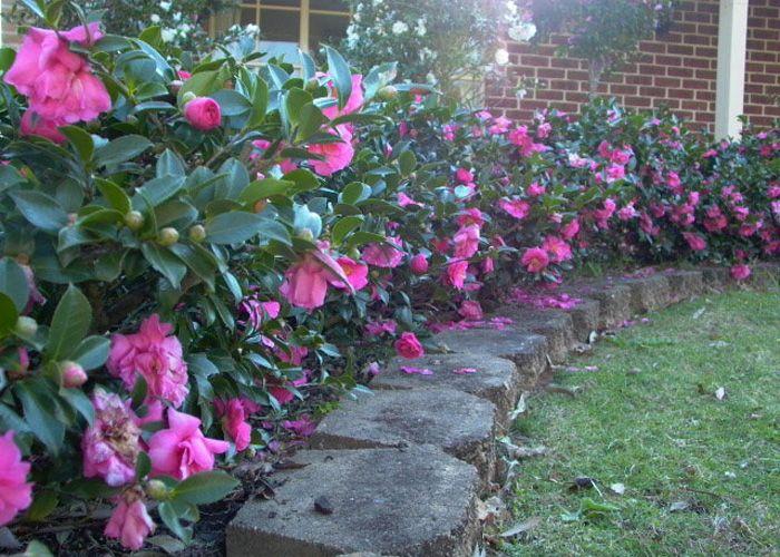 Camellia Hedge Rathgeber Sugg Front Landscape Design Pinterest Hedges