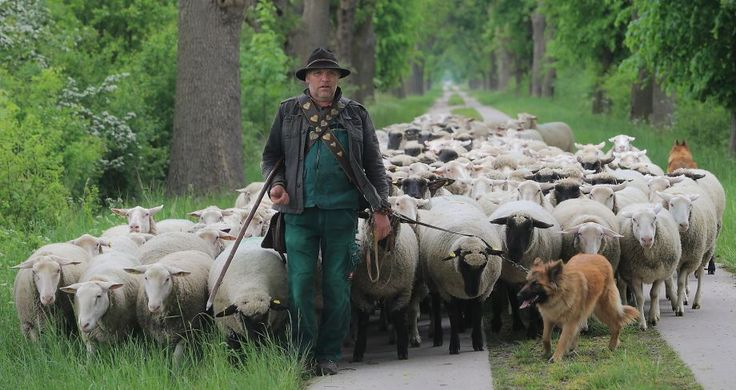 Shepherd Ruediger Kassuhn and his dogs lead flock of sheep across Iden, eastern Germany, Monday, May 18, 2015. The sheep will be used for the landscape care of the vast local meadows during spring.  Photo: Jens Wolf, Associated Press