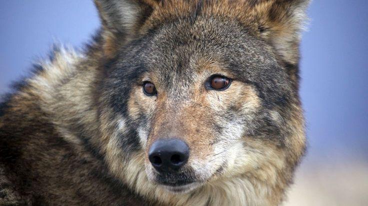 Weste: Wolf kommt Joggerin nahe | NDR.de - Nachrichten - Niedersachsen - Lüneburg/Heide/Unterelbe
