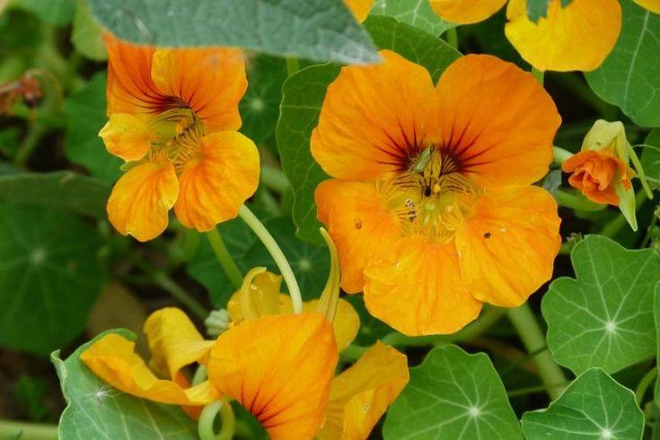 La capucine : c'est une plante trompe l'oeil : elle attire les pucerons et elle agit comme répulsif contre les doryphores. Alors avant de planter vos pommes de terre, on plante une rangée de capucine et on alterner avec une rangée de lin, vous aurez ainsi un potager avec plusieurs couleurs de fleurs.