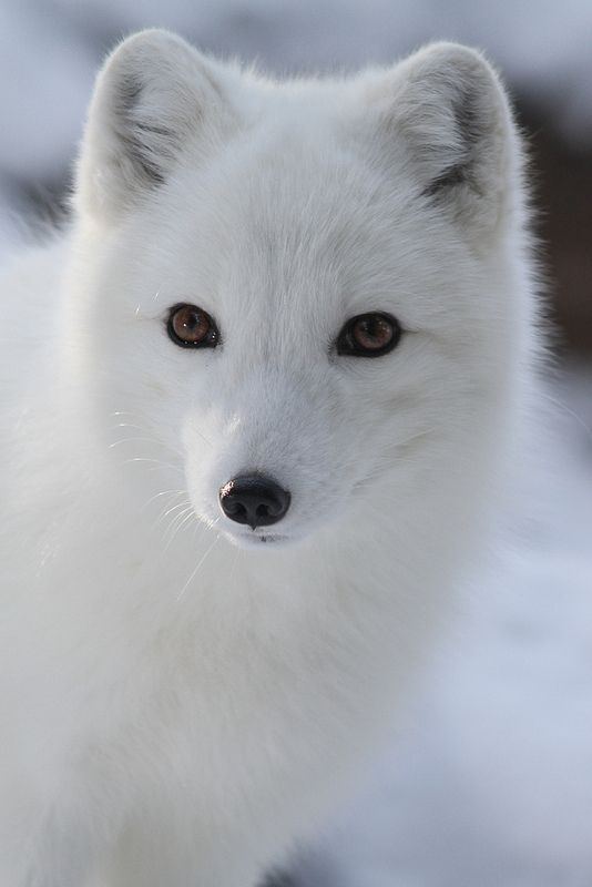 Arctic Fox Closeup -- by Mark Dumont on Flickr (cc)