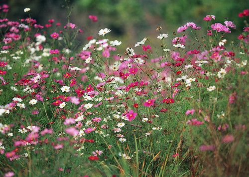 Cosmos - a native flower in many areas. Re-seeds annually. Also yellow - orange variety.