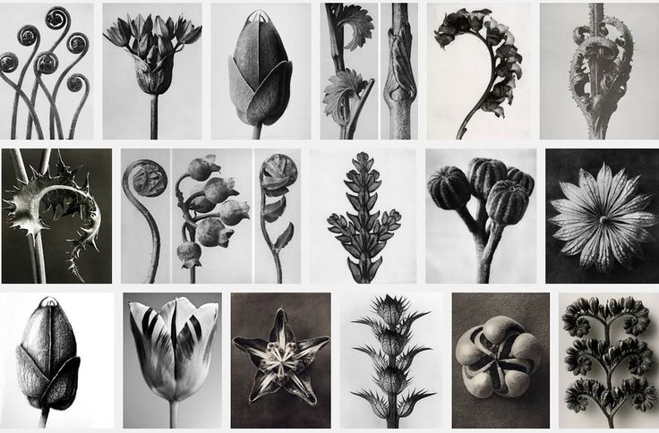 karl blossfeldt photography - Google Search