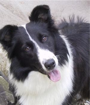 border collie dog photo | Border Collie Puppies Breeders Collies