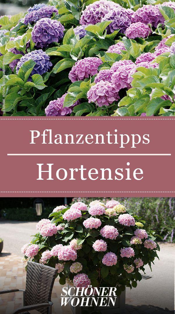 Hortensien – pflanzen, pflegen, vermehren