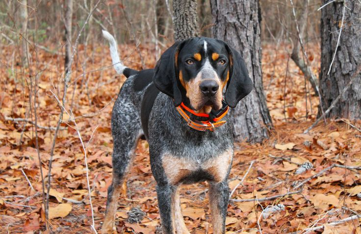 theeryanturner:  tinybigpaws:  Bluetick Coonhound.  I want it.  Most favorite dog of all….. $*cb*$