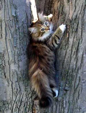 Norwegian kitten. Winterfyre Norwegians