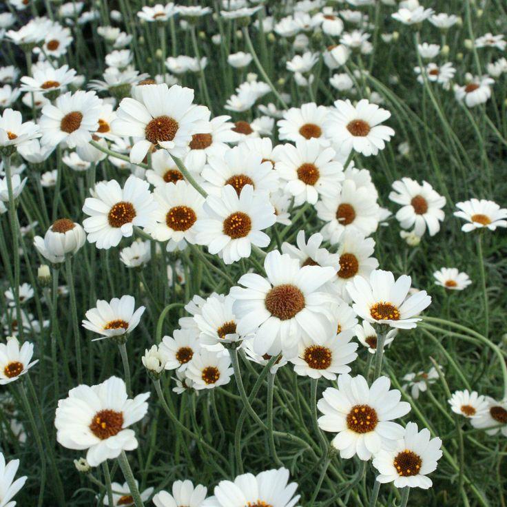 Rhodanthemum African eyes daisy